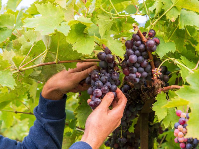 Comment réussir une bouture de vigne ?